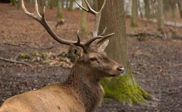 森の中に座っている茶色のアカシカの上半身