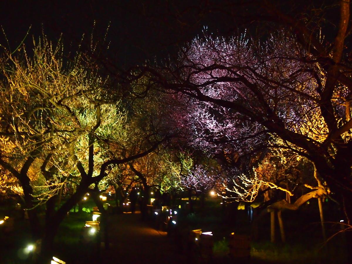 梅まつり 偕楽園 ライトアップ