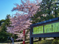 国立劇場前・桜