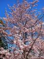 国立劇場・桜