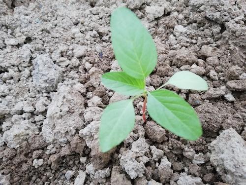 葉野菜の苗