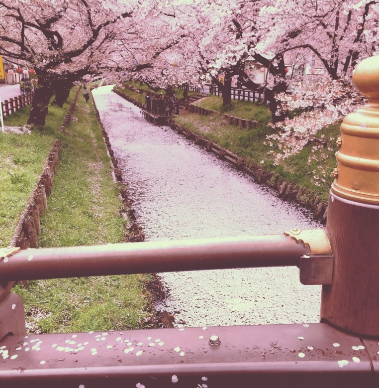 川越氷川神社裏 氷川橋と新河岸川の桜