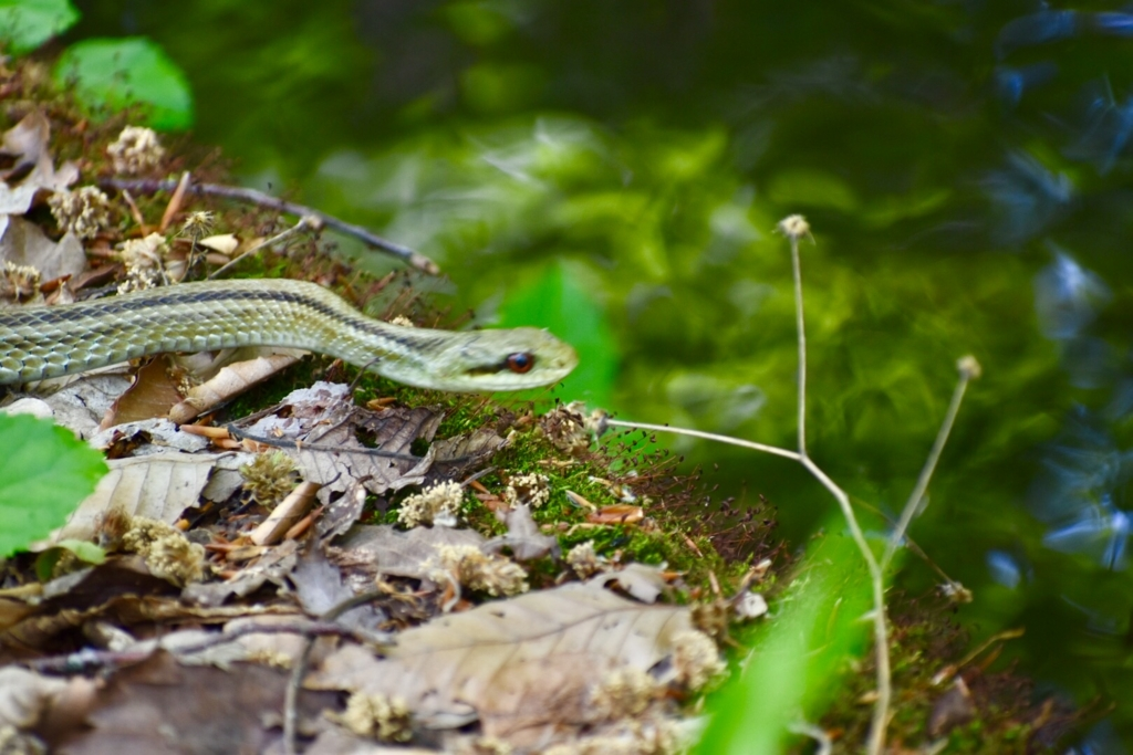 蔦の七沼【蔦沼】観光 遊歩道にて蛇