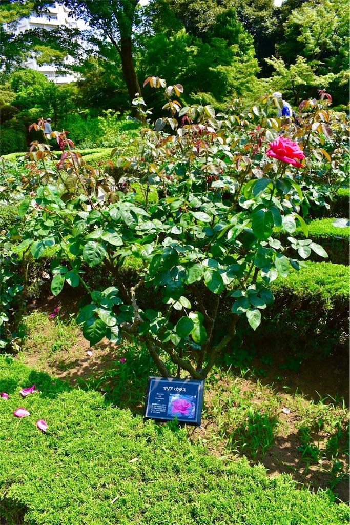 『うみねこのなく頃に』∼バラの庭園∼