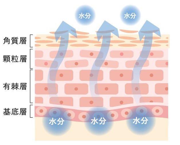 肌が乾燥する仕組しくみの図