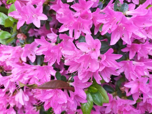 ツツジの花の写真