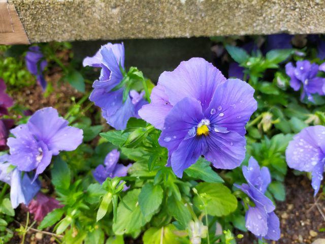 青いビオラの花の写真