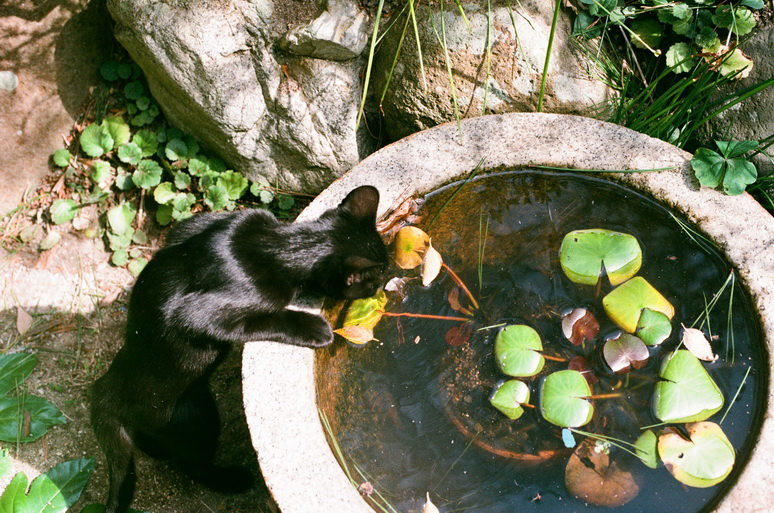 黒猫こんぶと睡蓮の葉