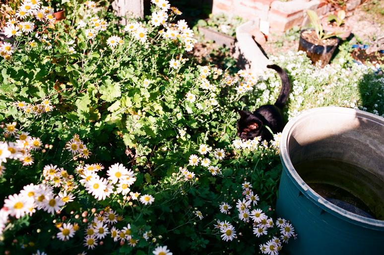 花壇にいる黒猫こんぶ