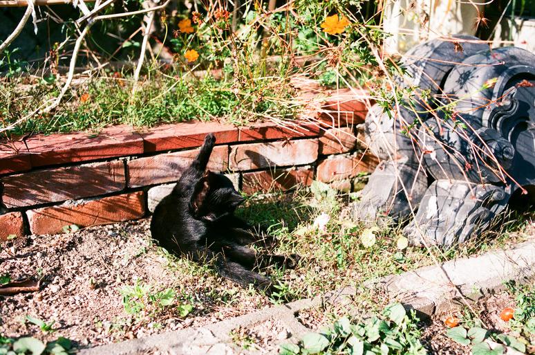 毛づくろいする黒猫こんぶ