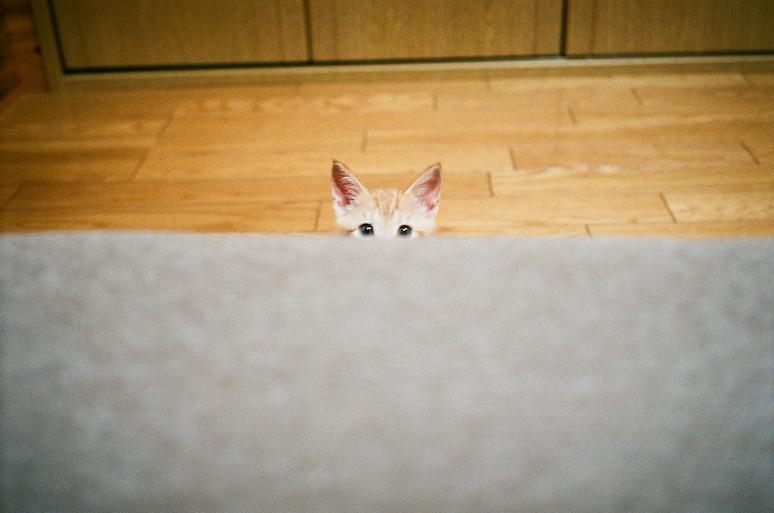 子猫の茶トラおかか