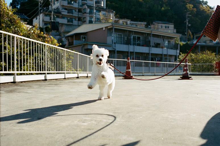 散歩するホワイトトイプードル