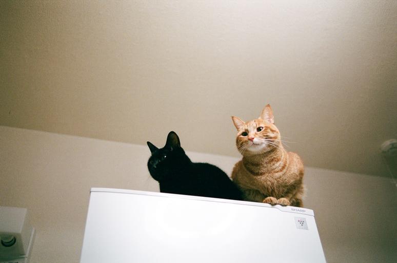 冷蔵庫の上にいる黒猫と茶トラ猫