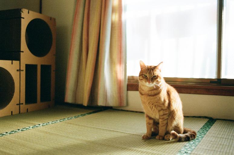 睨む茶トラ猫