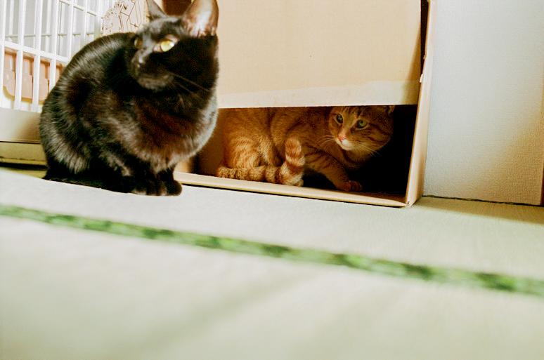 黒猫を狙う茶トラ猫