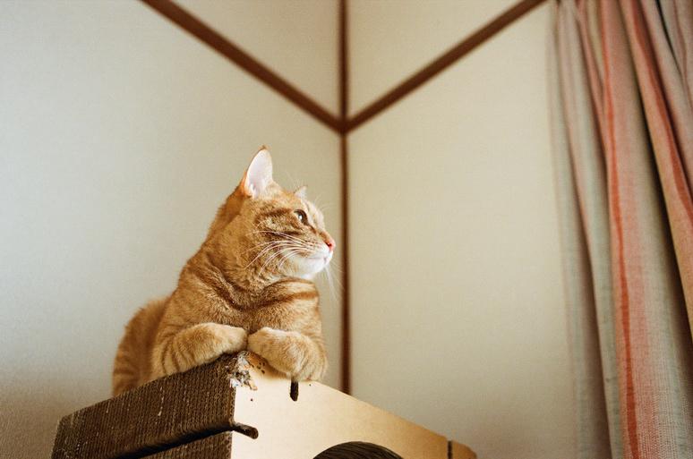 遠くを眺める茶トラ猫