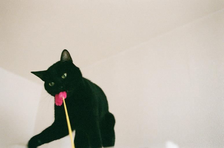 猫じゃらしで遊ぶ黒猫こんぶ