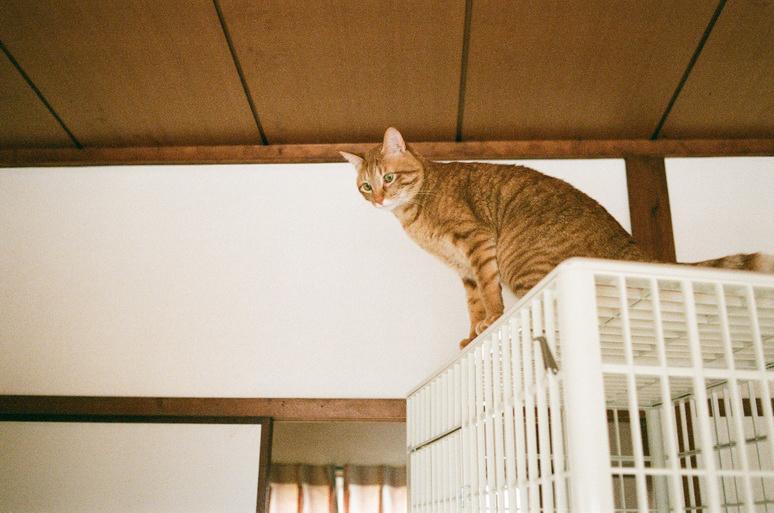ケージの上にいる茶トラ猫
