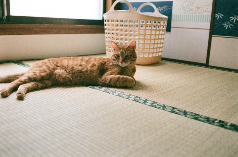 和室に茶トラ猫