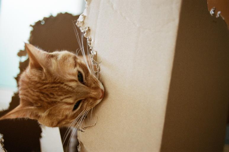 ダンボールをボロボロにした茶トラ猫