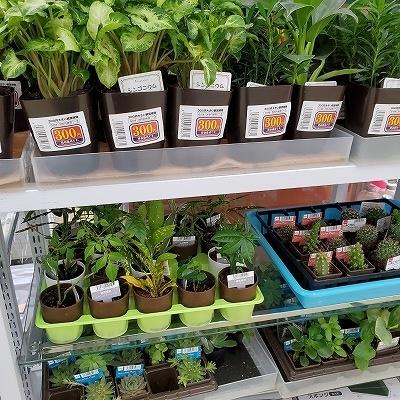 ダイソーの植物