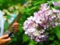明月院の紫陽花 白~ピンク