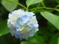 明月院の紫陽花 クリーム~水色のグラデーション