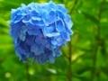明月院の紫陽花 明月ブルー