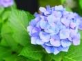 明月院の紫陽花 青~紫のグラデーション