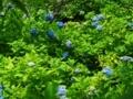 明月院の紫陽花たち