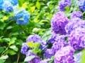 明月院の紫陽花 紫