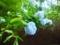 京都紫陽花
