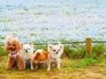 ひたち海浜公園 ネモフィラと犬