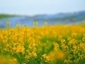 ひたち海浜公園 ネモフィラと菜の花