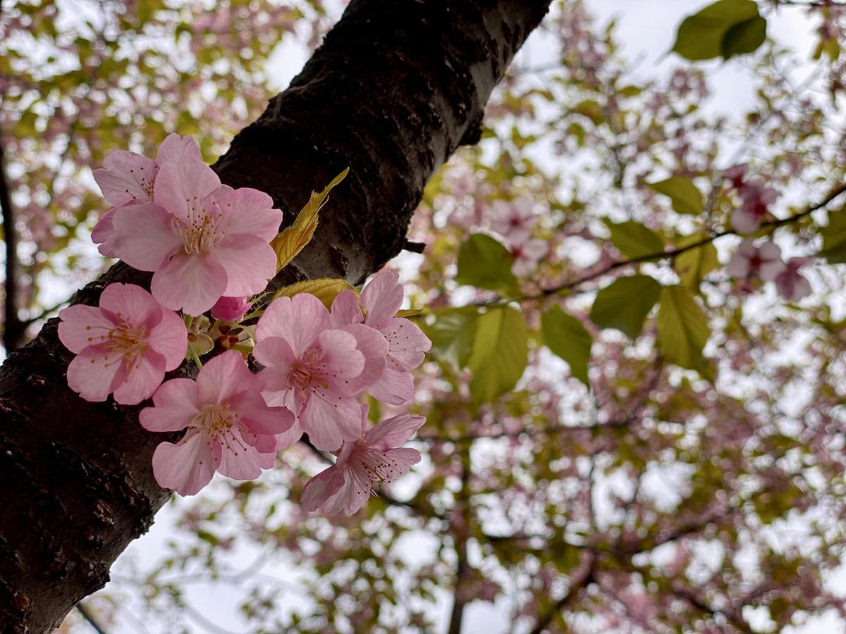 早咲き?の桜