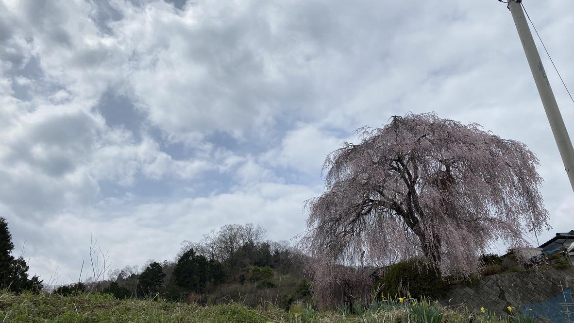 大きなしだれ桜