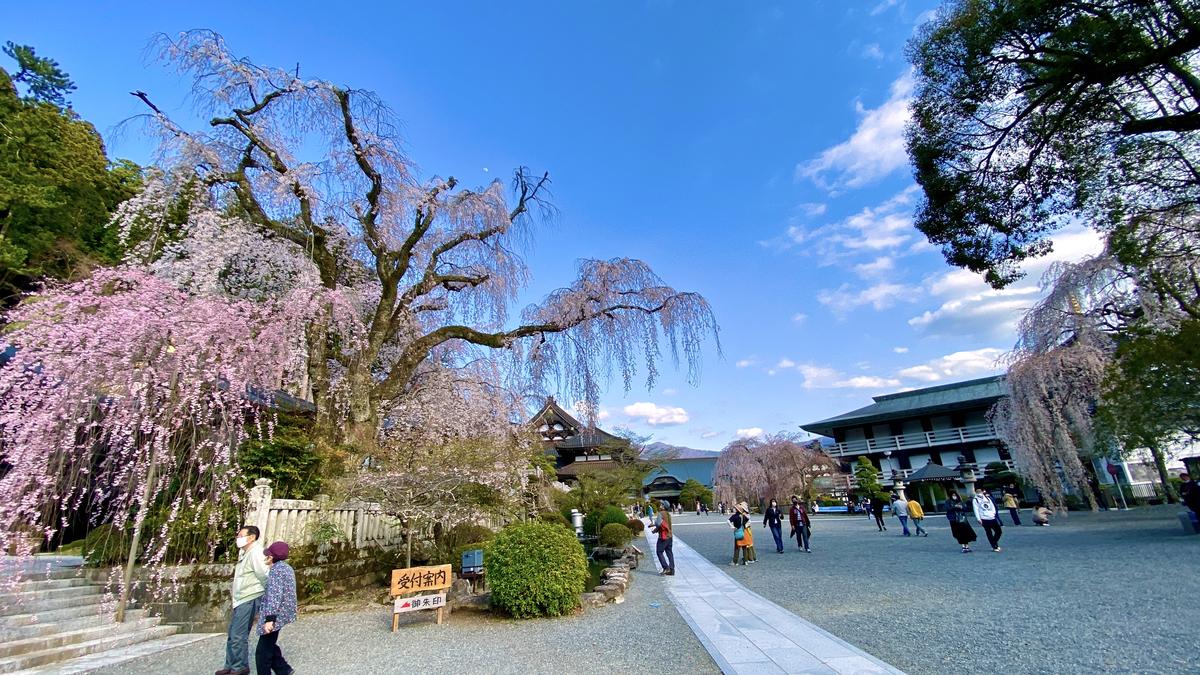 至る所に大きな枝垂れ桜