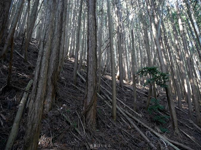 金剛山の杉林