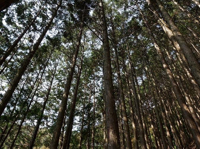 竜門岳の杉林