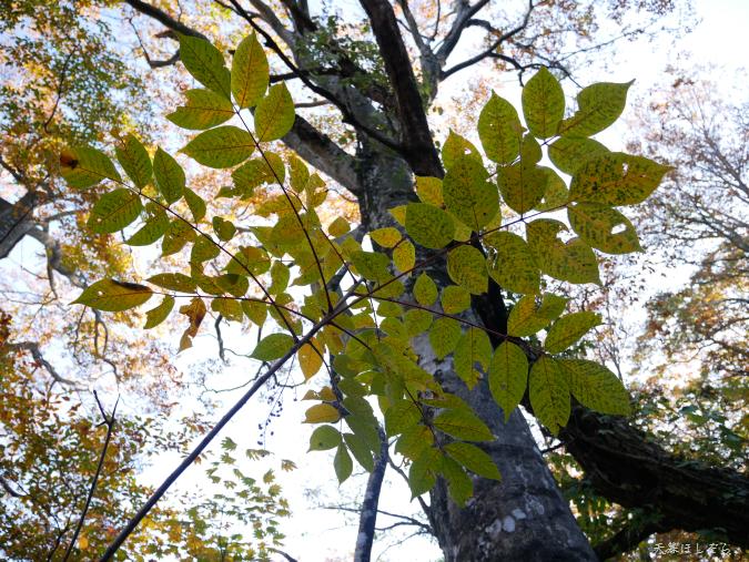 黄葉する葉