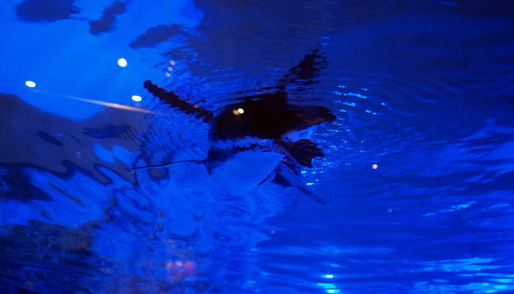 ペンギンが泳ぐ様子を見上げる