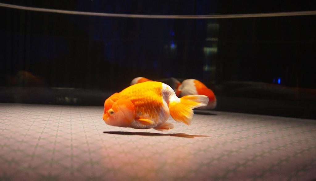 近くで見る金魚