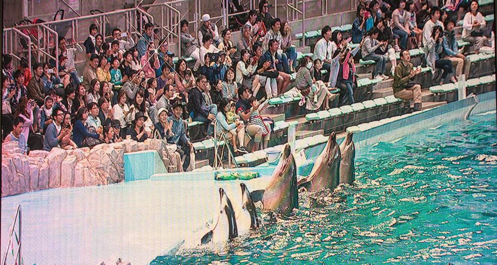 拍手みたいな仕草を並んでするイルカたちを写す大型スクリーン