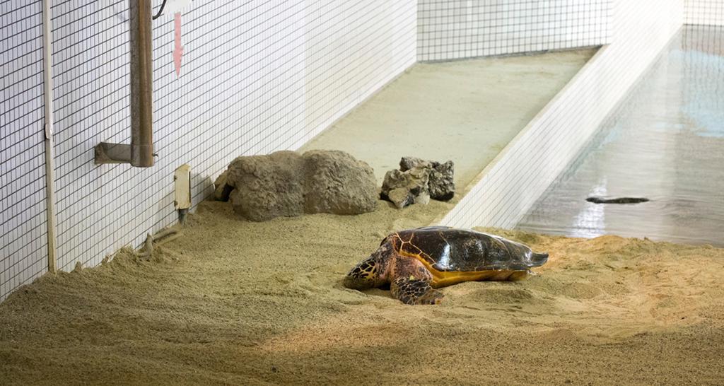 広い部屋の砂場に上陸した1頭のウミガメ