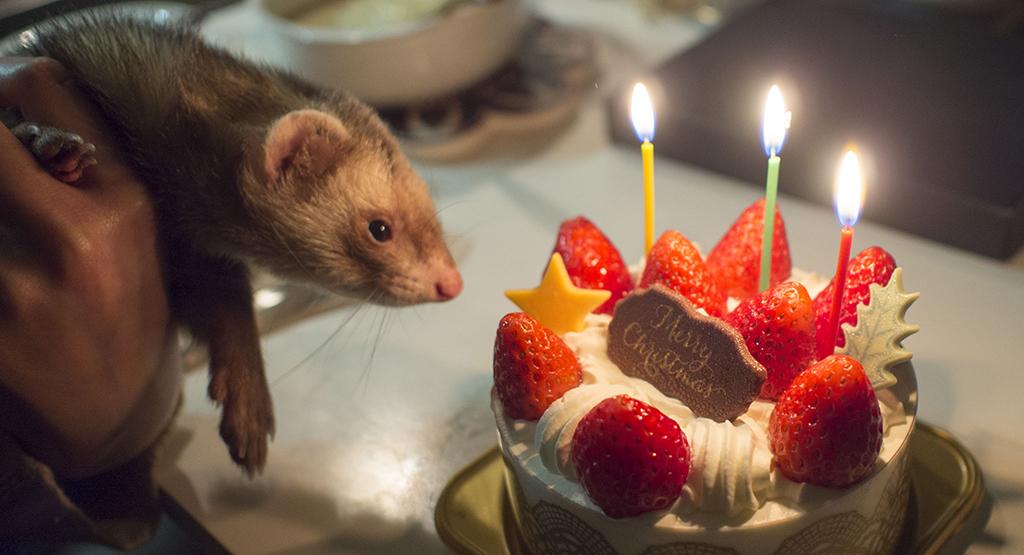 クリスマスケーキとフェレット