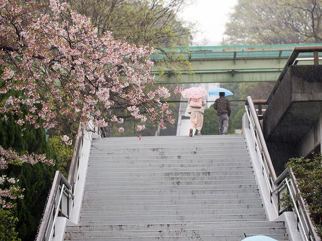 雨と桜の東山動植物園