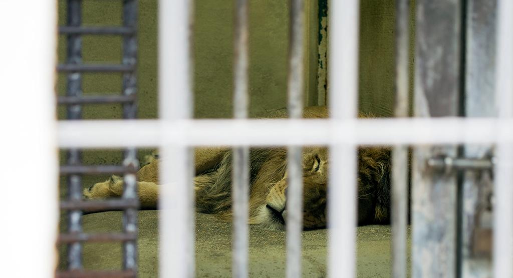 檻の中で寝ているオスライオン