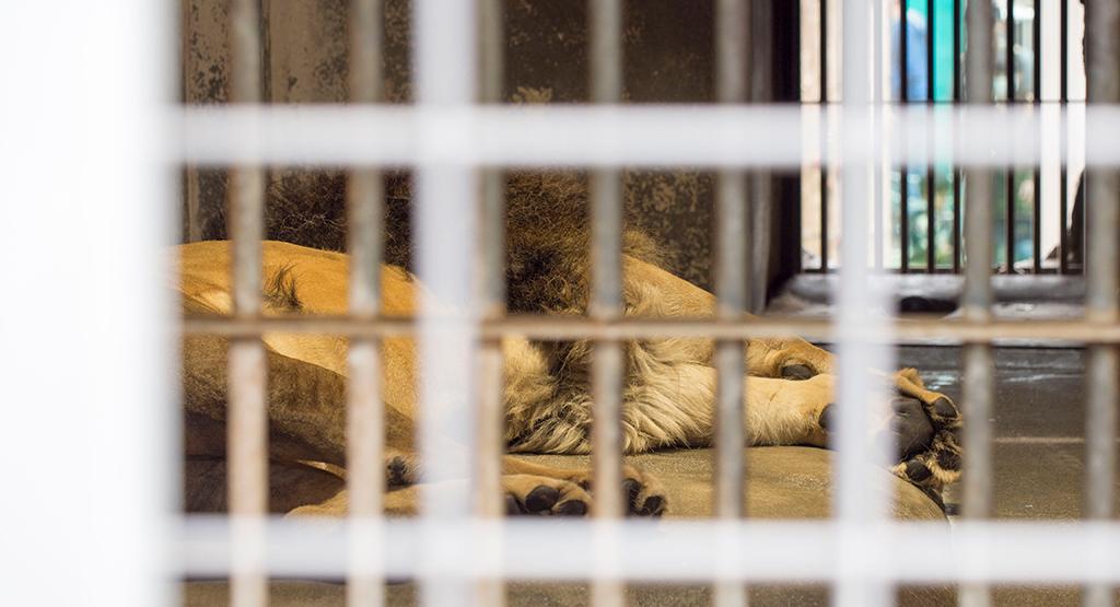 檻の中で寝ている別のオスライオン