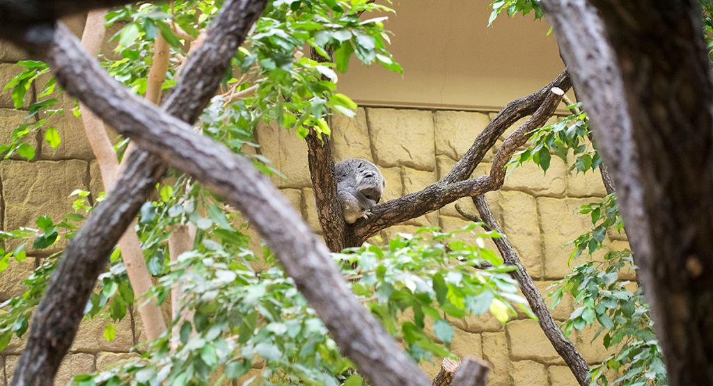 遠くのコアラ