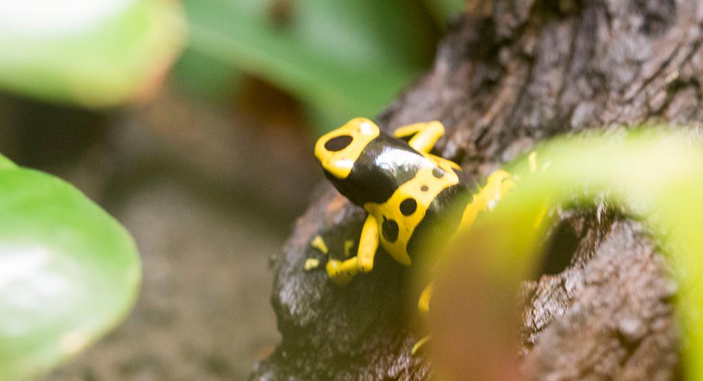 黄色いドクガエル